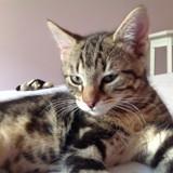 Max, Chaton à adopter