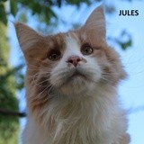 Jules, Chat maine coon à adopter