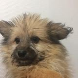 Oname, Chiot lhassa apso à adopter