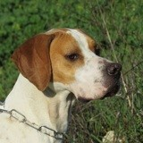 Charles, Chien pointer anglais à adopter