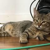 Wasabi, une petite douce et caline, Chat européen à adopter