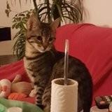 Oliver et ohana, inséparables, Chaton européen à adopter