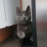 Talula, notre petite mascotte, Chaton européen à adopter