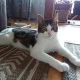 Tico, un rouclouleur, Chaton européen à adopter