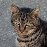 Norman, Chat européen à adopter