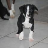 Oxbow, Chiot border collie, labrador retriever à adopter