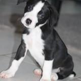 Orea, Chiot border collie, labrador retriever à adopter