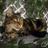 Iris, Chat européen à adopter