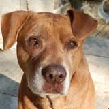 Choko, chien croisé don libre, Chien à adopter