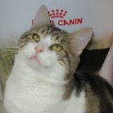 Georgio, Chat européen à adopter