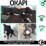 Okapi, Chiot dogue argentin, labrador retriever à adopter