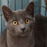 Coco, Chaton chartreux à adopter