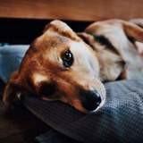 Diniel, Chien beagle, beagle-harrier à adopter