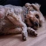 Giloo, Chien toy terrier anglais noir et feu, yorkshire terrier à adopter