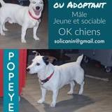Popeye, Chien jack russell terrier à adopter