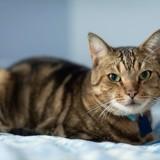 Ikou, Chat européen à adopter