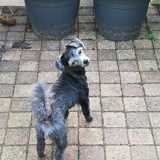 Chipie, Chien caniche, yorkshire terrier à adopter