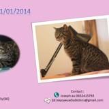 Tigrette, Chat à adopter