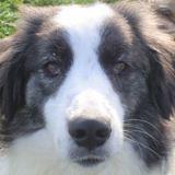 Iggy, Chiot berger australien à adopter