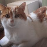 Malley, Chat européen à adopter