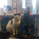 Dolfy, chat mâle créole, Chat à adopter