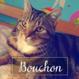 Bouchon, Chat européen à adopter
