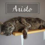 Aristo, Chat européen à adopter