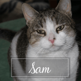 Sam, Chat européen à adopter