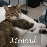 Leonard, Chat européen à adopter