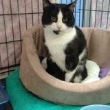 Leo, Chat européen à adopter