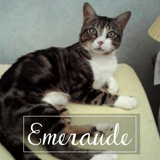 Emeraude, Chat européen à adopter