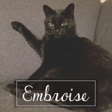 Embroise, Chat européen à adopter