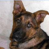 Oozz, Chiot berger allemand à adopter