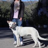 Blanca, Chien mâtin espagnol à adopter