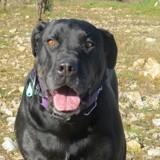 Luna, Chien cane corso à adopter