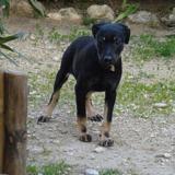 Bianca, Chiot beauceron à adopter