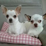 Maya et lola, Chien chihuahua à adopter