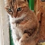 Kali femelle tigrée de 8 ans, Chat à adopter