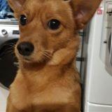 Roxy, Chiot pinscher à adopter