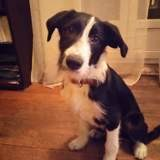 Olli, Chiot border collie à adopter