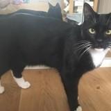 Chagma chat noir/blanc de 1 an 1/2, Chat à adopter