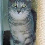 Milki chat tigré de 1 an 1/2, Chat à adopter