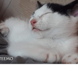 Teemo, Chaton européen à adopter