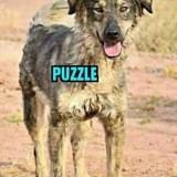 Puzzle, Chien à adopter