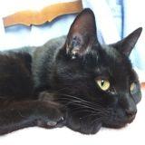 Granola chat noir de 1 an, Chat à adopter