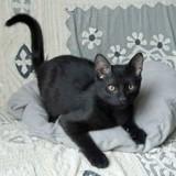 Enjoy chaton noir de 7 mois, Chaton à adopter
