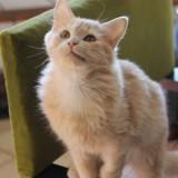 Oliver chaton caramel poils longs de 8 mois, Chaton à adopter