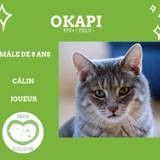 Okapi, Chat européen à adopter