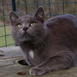 Petunia, Chat chartreux, gouttière à adopter