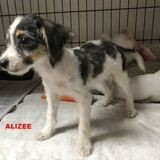 Alizee, Chiot à adopter